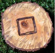 SmokinLicious® uses the heartwood of the tree which we have outlined  on our tree slice! The bark and outter rings are not used in our products!